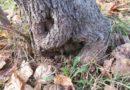 Il colletto degli alberi. Perchè è fondamentale preservarlo.
