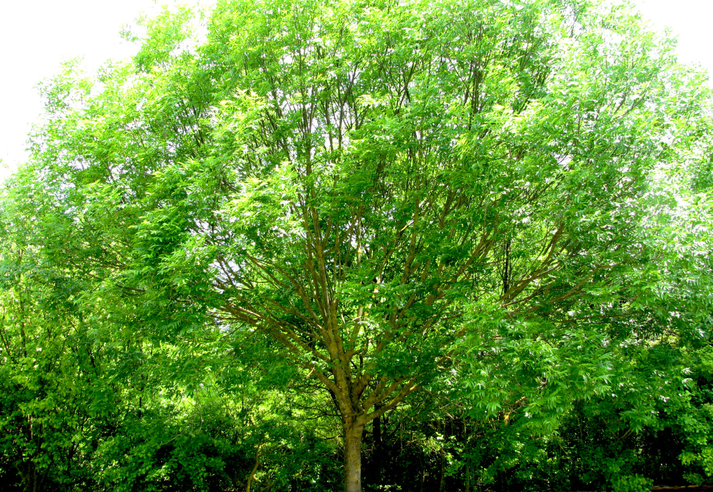 Alberi Ornamentali Da Giardino gli alberi e gli arbusti autoctoni dei giardini storici