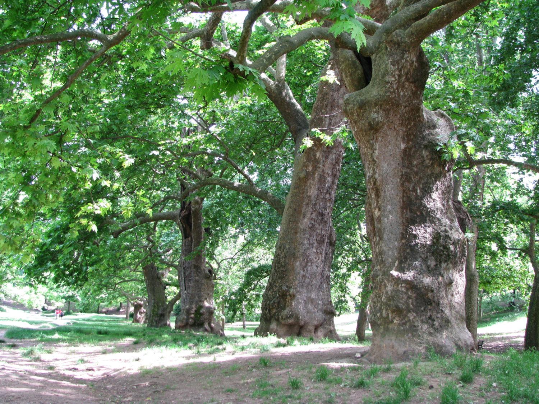 Alberi Ad Alto Fusto Quali Sono conoscenza e gestione delle radici dei pini. intervista all