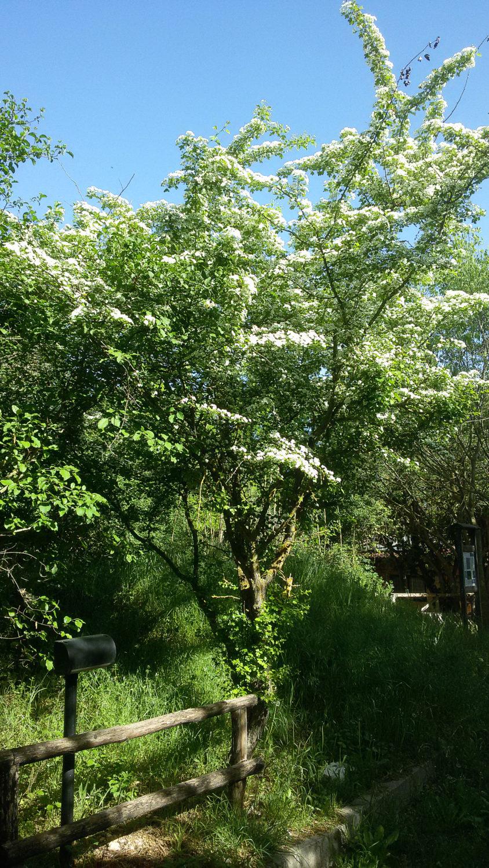Albero Con Fiori Bianchi gli alberi e gli arbusti autoctoni dei giardini storici