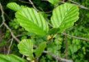 Gli Ontani, alberi della rinascita spirituale