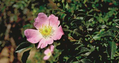 Le Rose, che passione!